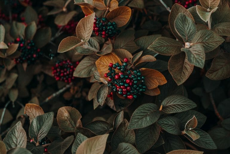Hawthorn Berries For Heart Health
