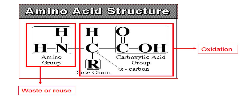 Amino Acid Structure image
