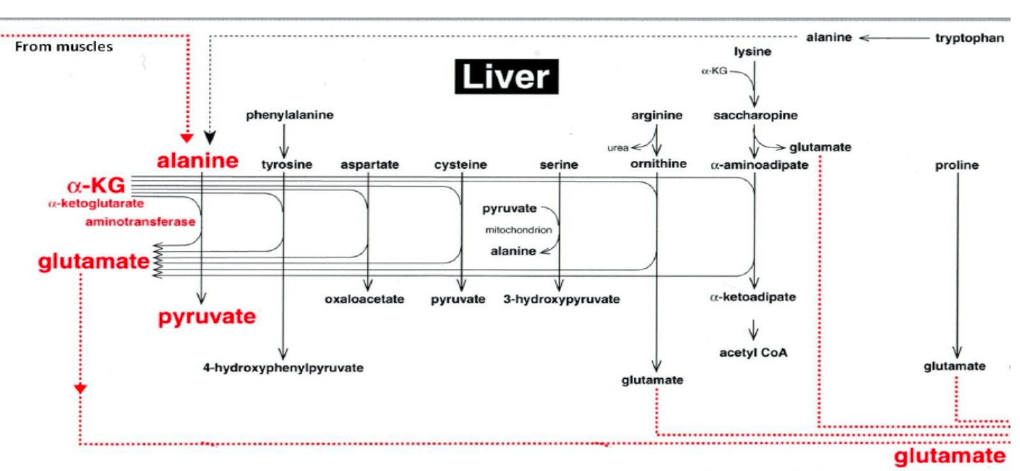 AKG and Liver