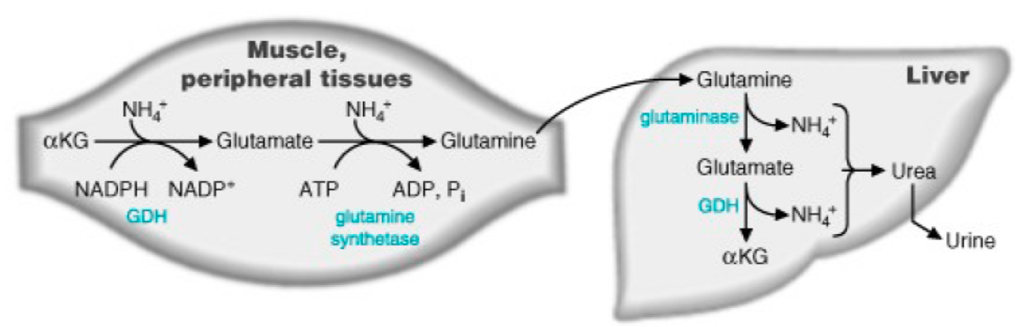 AKG and AMMONIA DETOX Diagram