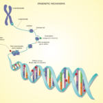 Methylation: What DNA can tell us about our Age