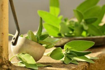 sage leaf image